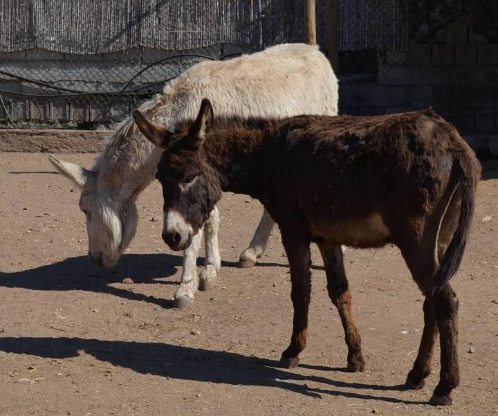 asno y caballo