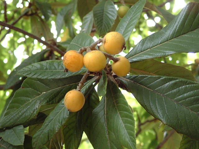 Frutas y plantas que sanan parte 2 carmelo urso for Arboles hoja perenne para jardin
