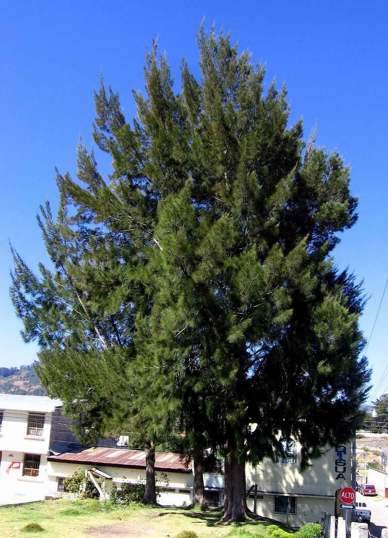 Frutas y plantas que sanan parte 4 carmelo urso for Tipos de plantas forestales