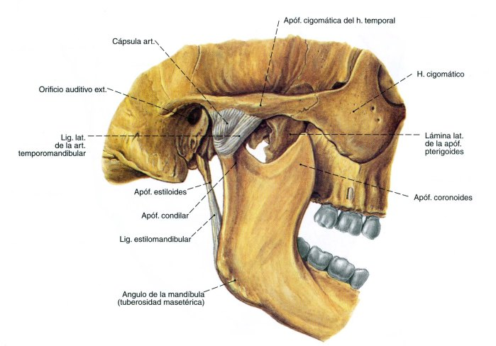 mandíbula humana