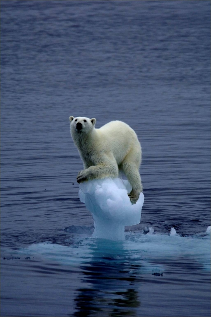 oso polar calentamiento global