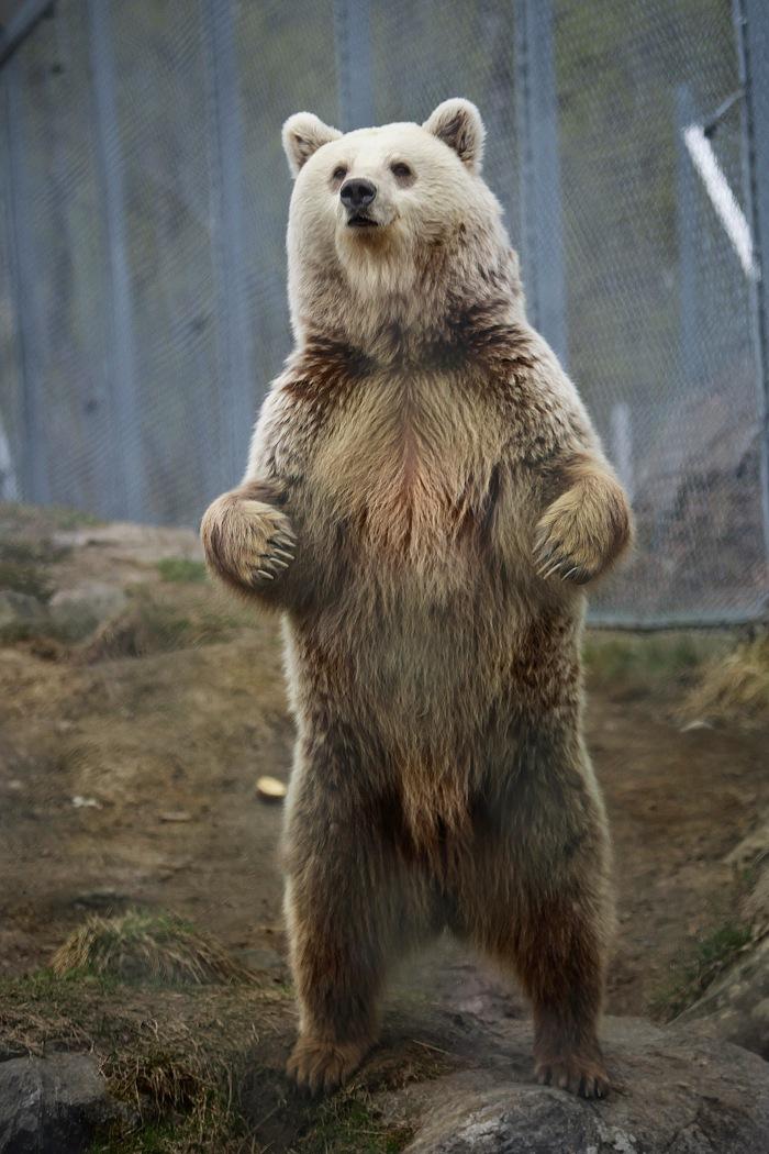 Ursus oso